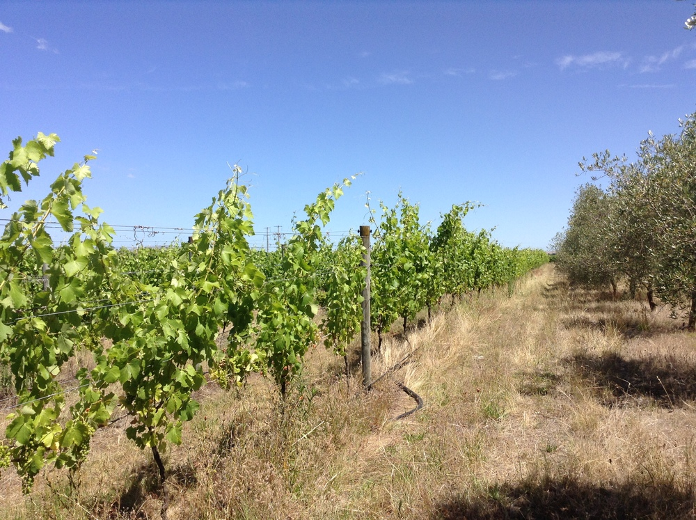 Out amongst the vines. So green they look out of place in the dry landscape.