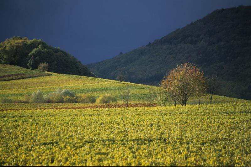 Pfalz has the largest amount of Riesling planted in a single Wine Region at over 5500ha