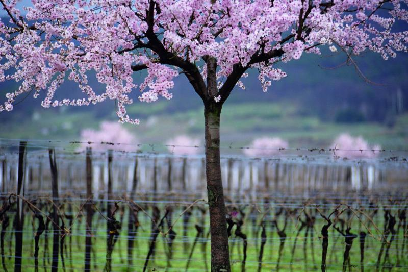 Almond trees blossoming in a Pfalz vineyard in March