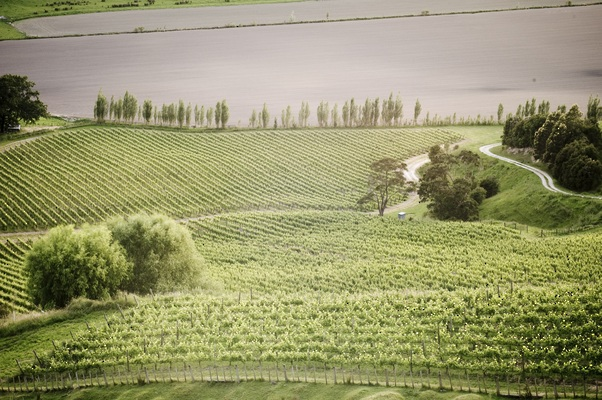 Millton Vineyards , one of Gisborne's best producers, certified organic and biodynamic.