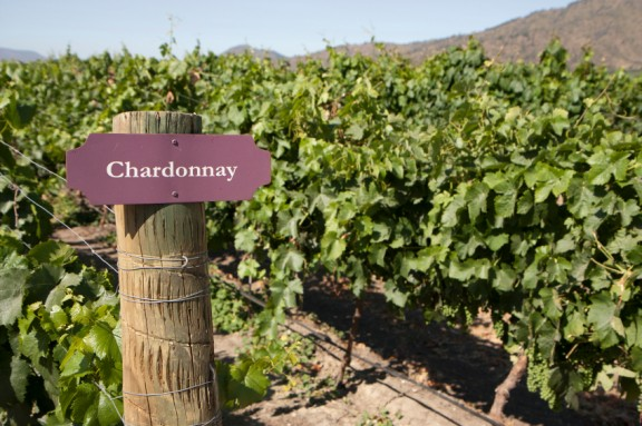 Chardonnayvineyard.jpg