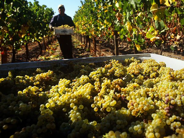 chardonnay-grapes-chile_8863_600x450.jpg