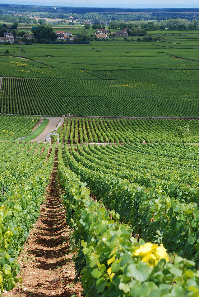 The vineyards of Montrachet, with Chevalier-Montrachet at the top of the hill (foreground) down to Montrachet with Batard-Montrachet at the bottom. Puligny-Montrachet is the small community in the background.