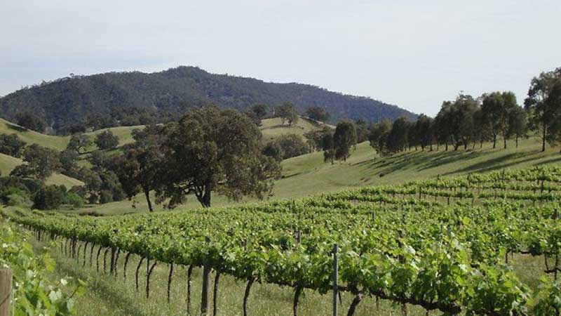 Vineyard scene in the Southern Flinders Ranges