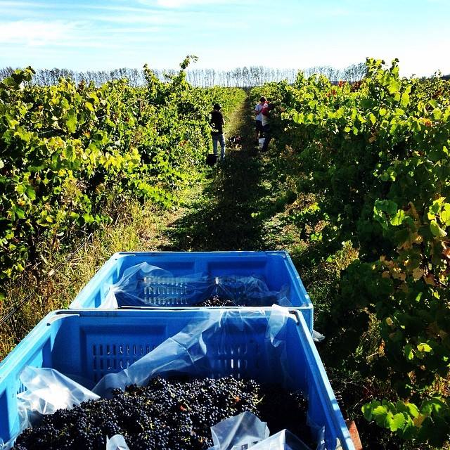 Pinot Noir harvest at Coola Road Wines, Mount Gambier