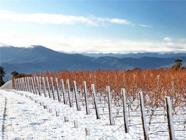 The Whitlands Vineyard at over 800m above sea level, originally owned by Brown Brothers, now owned by Domaine Chandon Australia, King Valley.