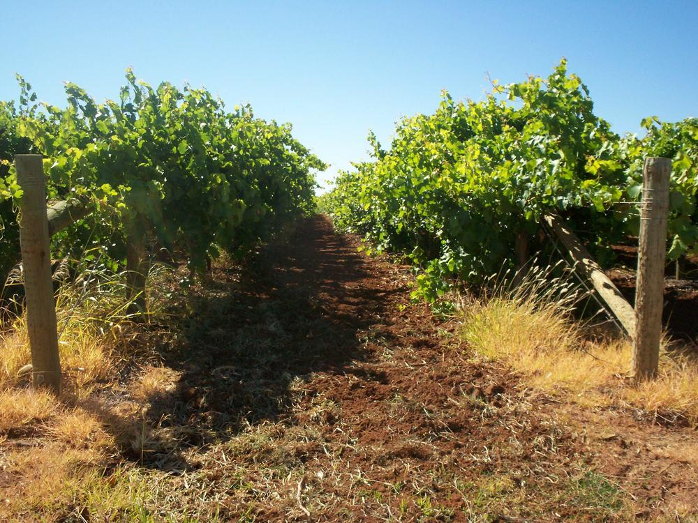 Vines growing in the warm inland vineyards of Mildura