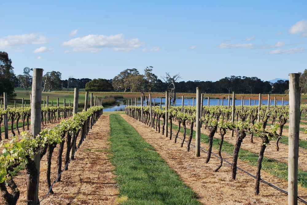 Vineyards planted at Henty Estate, North of Hamilton