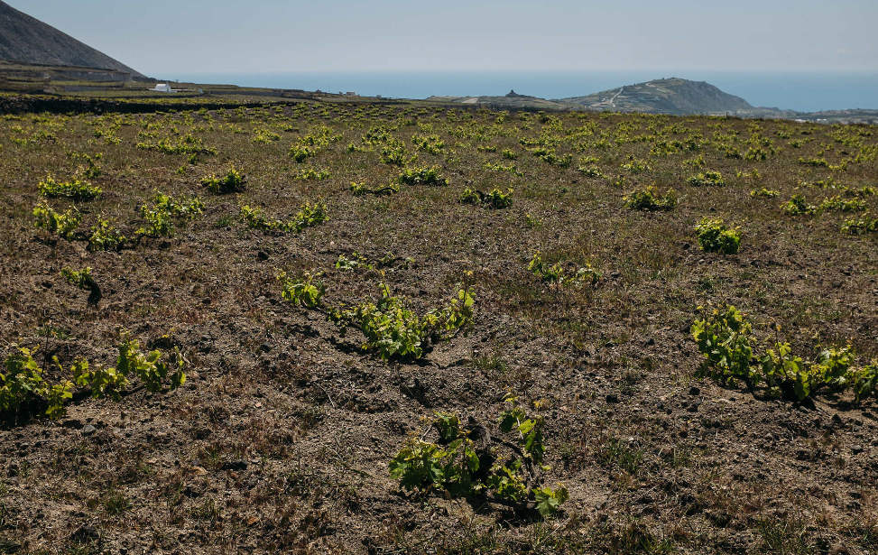 Vineyards of Hatzidakis