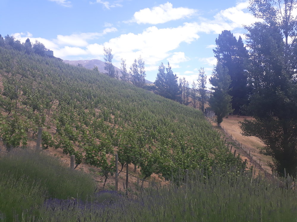 Mount Edward's sloping Drumlin vineyard.