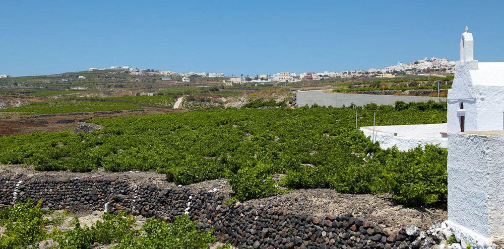 Vineyards at  Artemis Karamolegos Winery