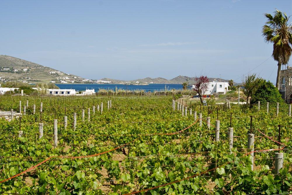 The vineyards of  Moraitis Winery  at Fykia, Paros
