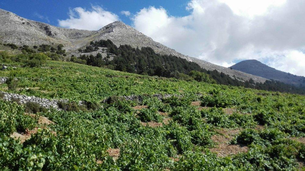 The mountainous vineyards of inland Rhodes. Photo cred:  Yiannis Karakasis MW