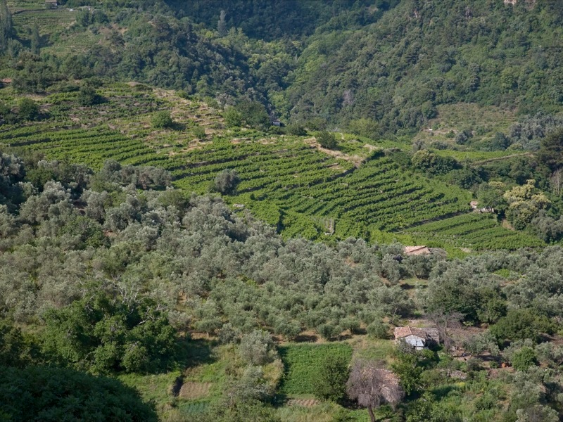 """Tiered """"pezoules"""" vineyards of  Samos"""