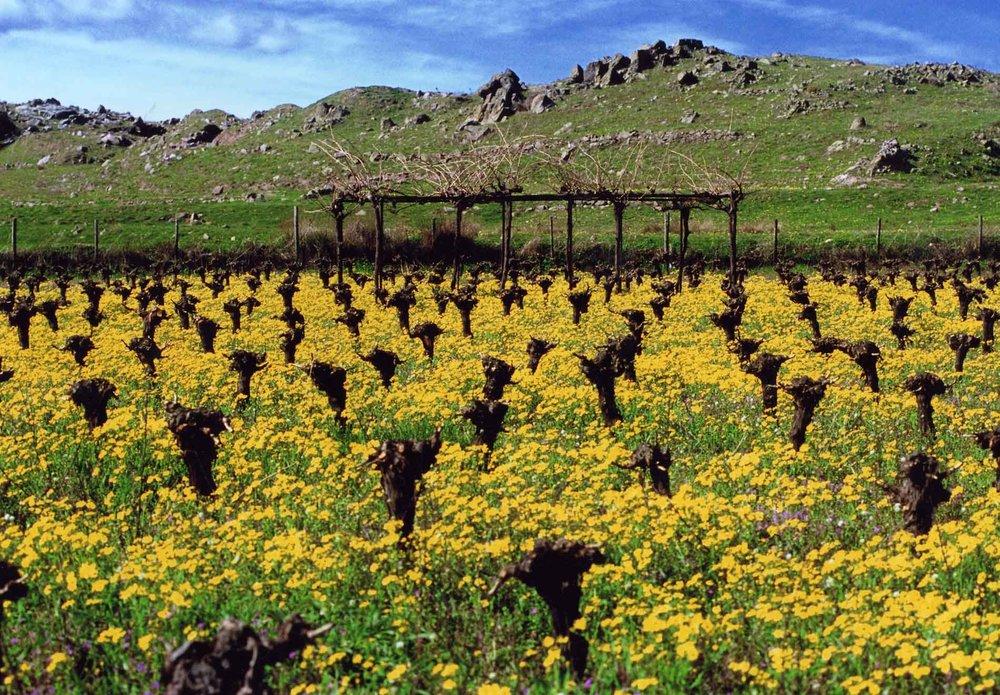 Old vines in Limnos Image credit:  Limnos Organic Vineyards
