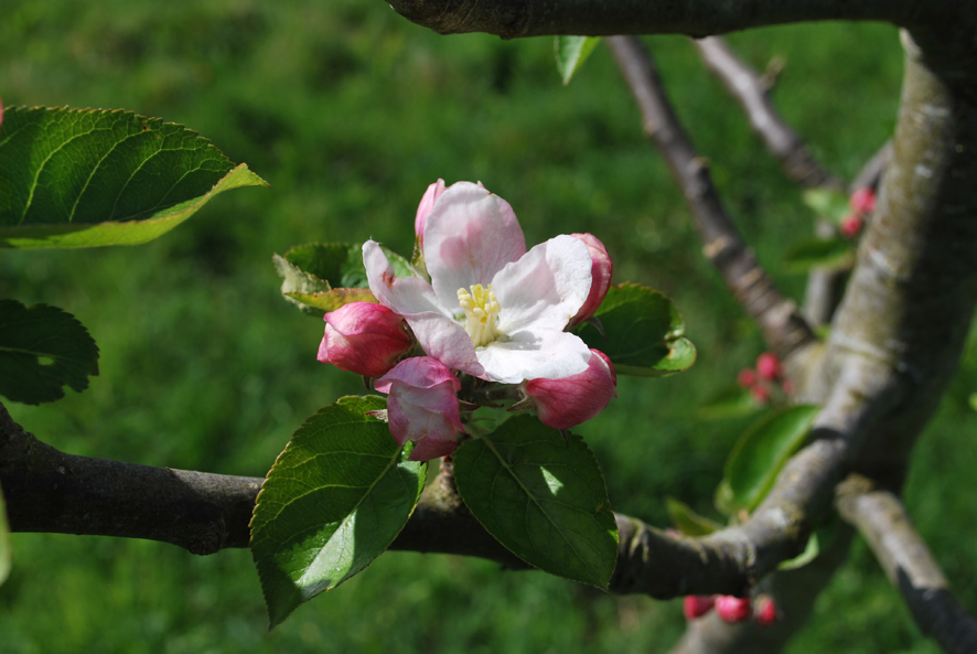 Blossom in the orchard