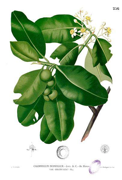 Tamanu (Calophyllum inophyllum)