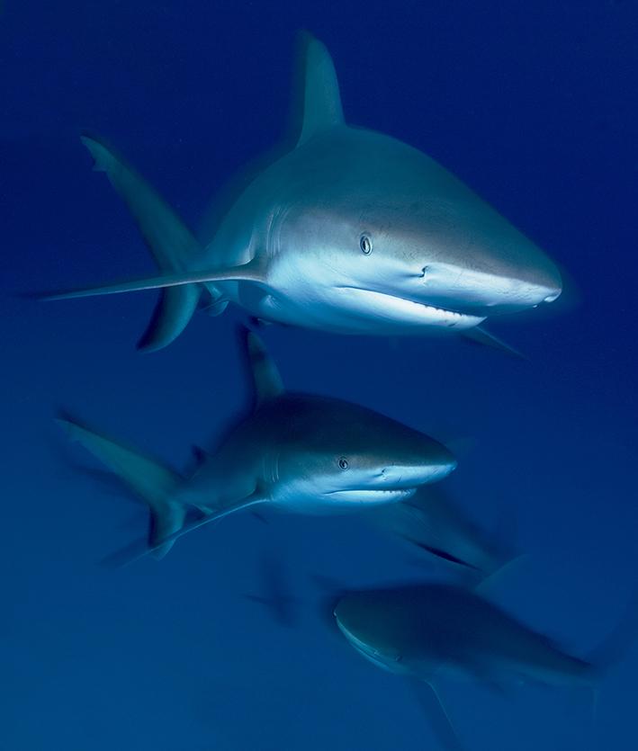 02173 caribbean reef sharks Jennifer  Hayes 300 dpi.jpg