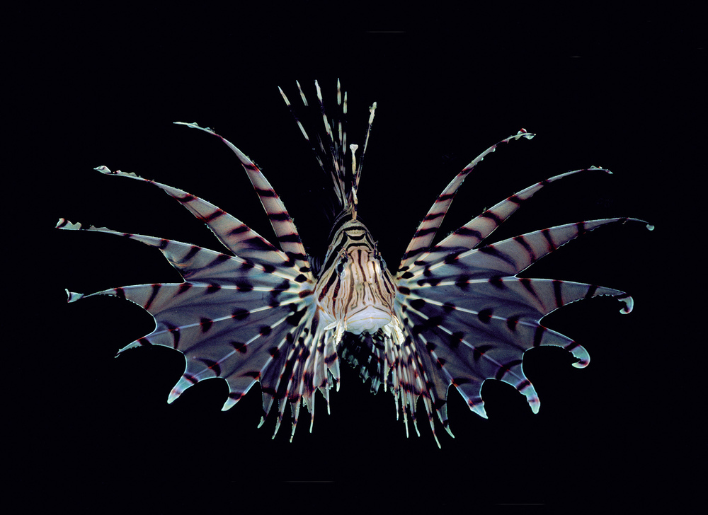 Lionfish (black background) 99J1b.jpg