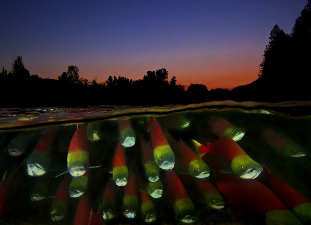 Migrating Sockeye at Dusk 9-10BC29cpr.jpg