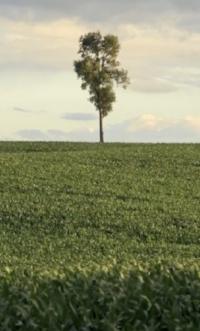 tree corn.jpg
