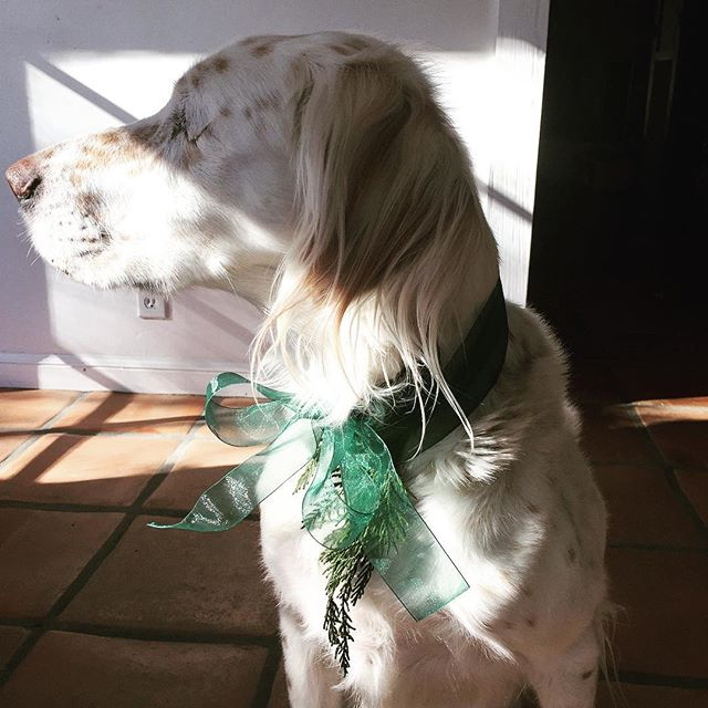 He'll have none of it. Trying to be a good sport, my Charlie the one eyed dog 💞🙈🙉🙊#Charlie #happyholidays #englishsetter#hardnottolove#dressup
