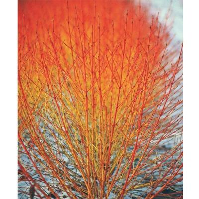 Cornus sanguinea  Redtwig Dogwood