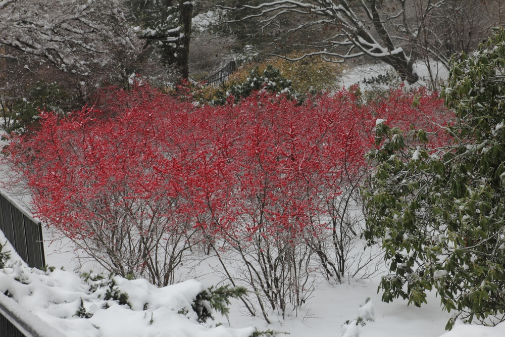 'Winter Red'