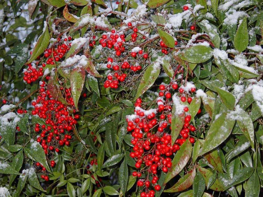 5 great shrubs for winter interest for Pianta nandina
