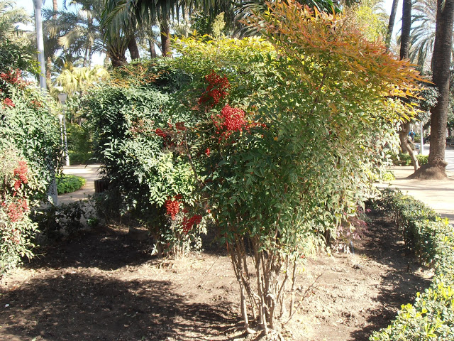 Nandina domestica  Heavenly Bamboo 2
