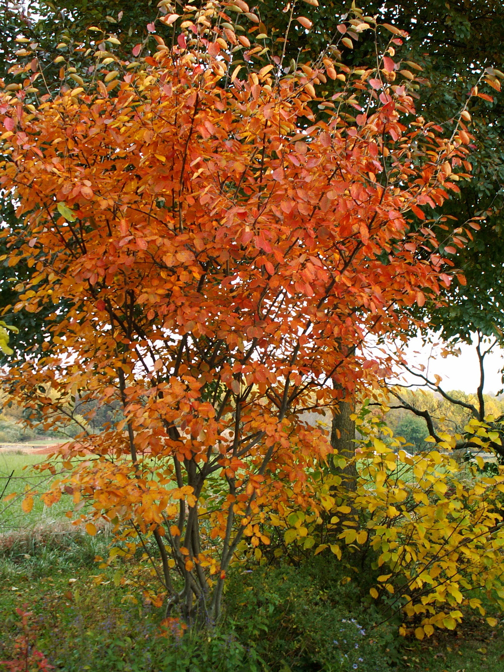 Five Great Native Flowering Trees For The Mid Atlantic