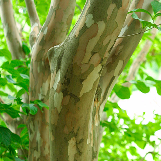 Stewartia pseudocamellia Japanese Stewartia