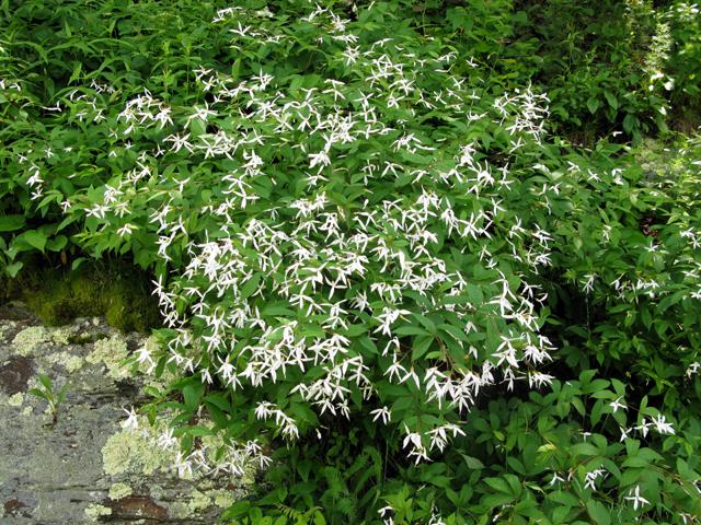 Gillenia trifoliata  Bowmans Root