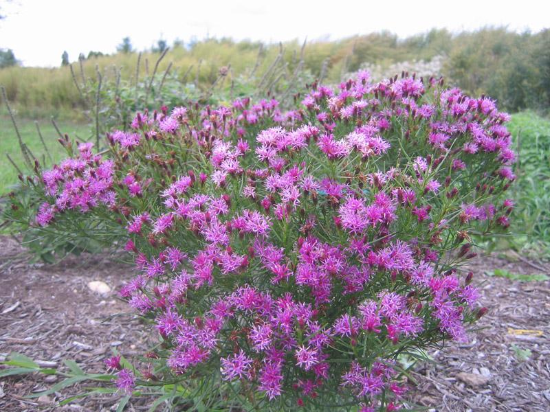 Vernonia Iron Butterfly'