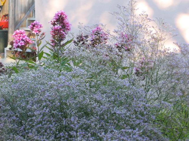 Limonium latifolium  Statice