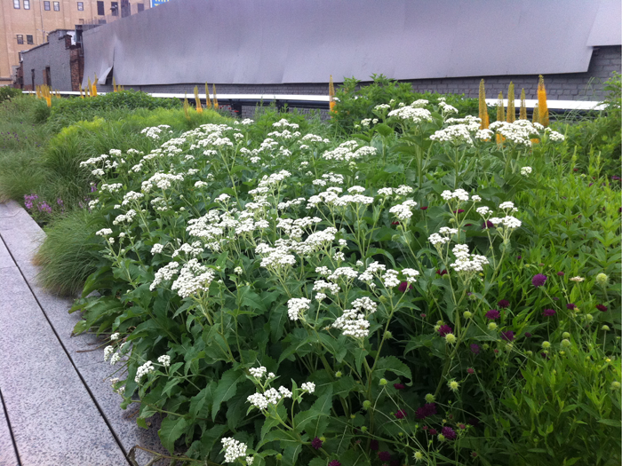 Parthenium at the Highline in NYC.