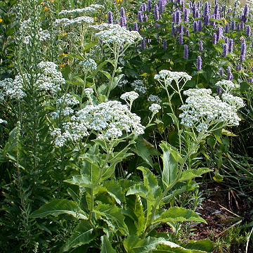 Parthenium with Agastache 'Blue Fortune'