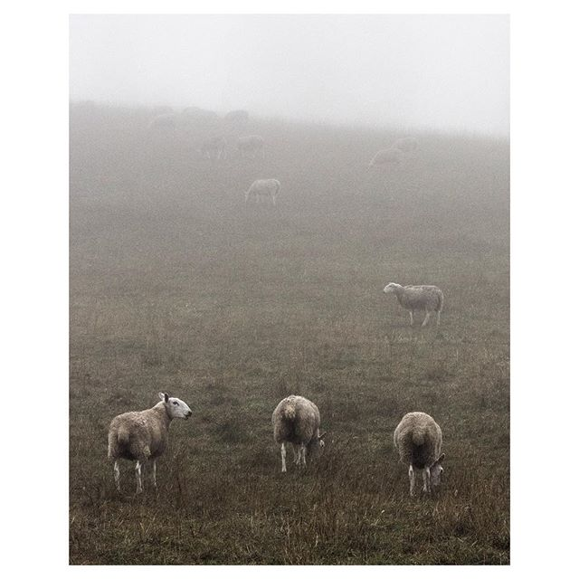 Sheep in Mist, Pennsylvania, 2015