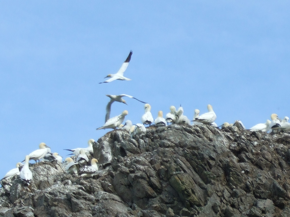 Lambay Is Gannets.JPG