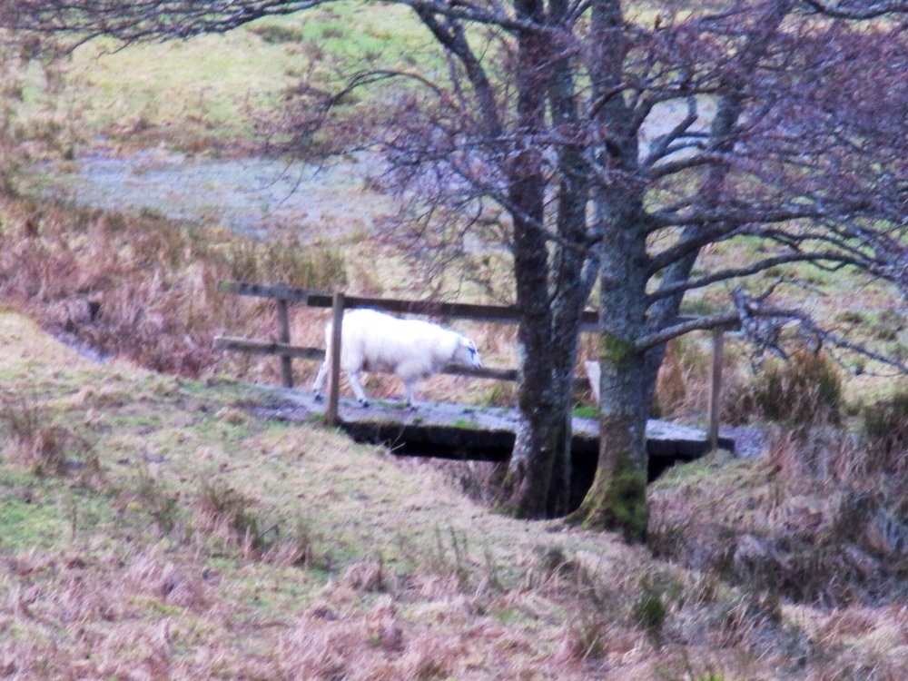 Sheep Crossing, Ft William, Scotland