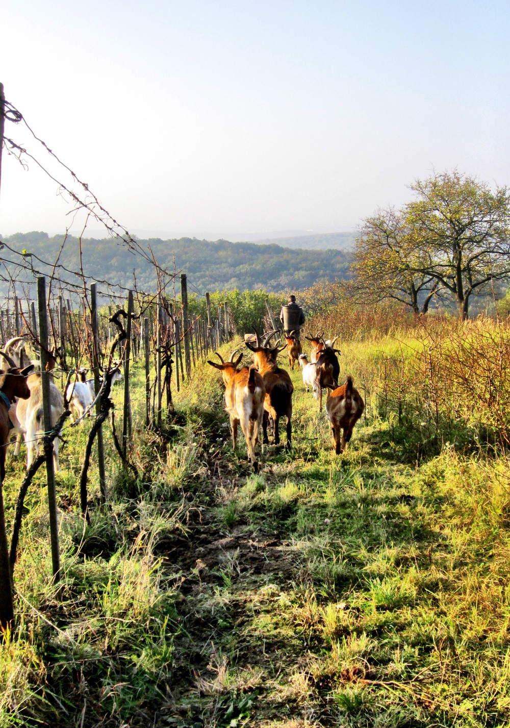 Richard Stavek leading the small herd through one of his many breathtaking vineyards.