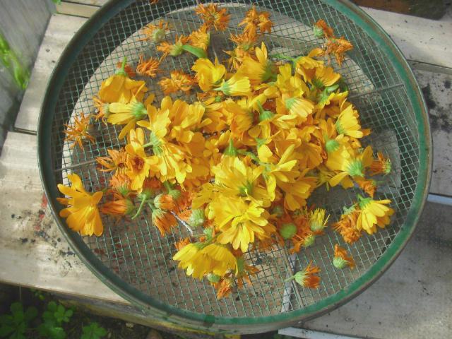 pot marigold garden harvest