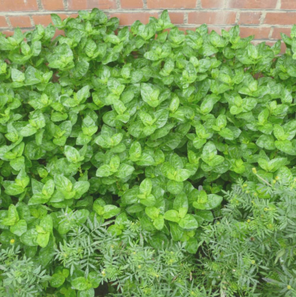 dogwooddyerdyeservices indigoplants.jpg