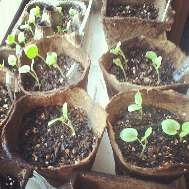 hollyhock seedlings sprout