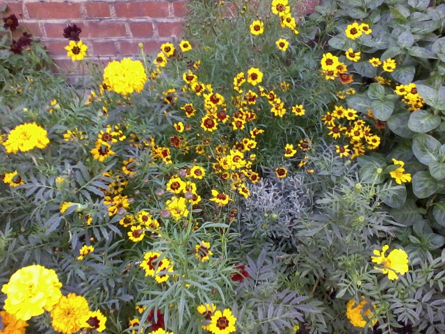 coreopsis and marigold in the london dye garden