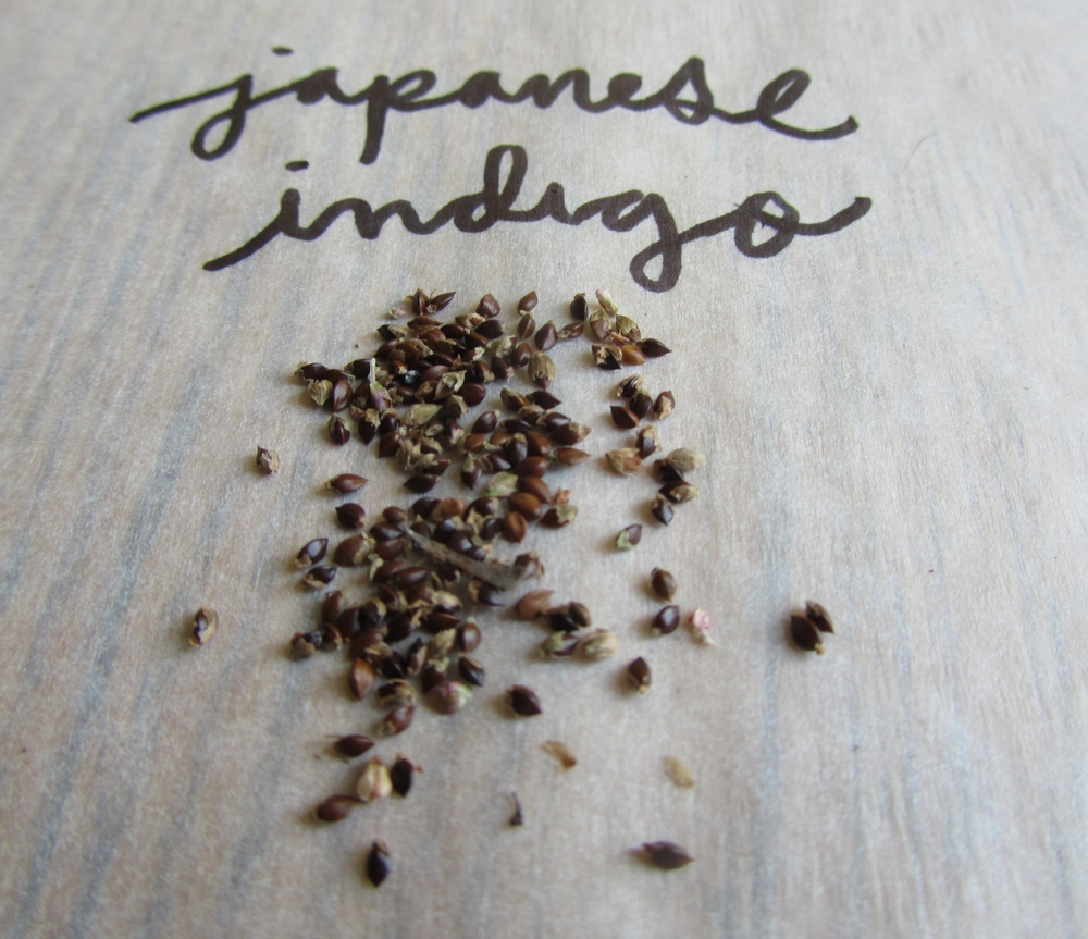 Japanese Indigo seeds saved from my 2013 plants