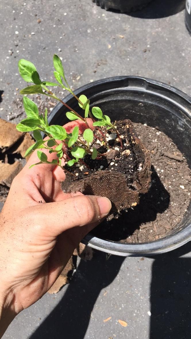 transplanting japanese indigo seedlings