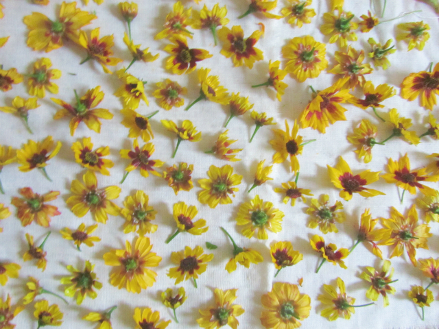 coreopsis flowers drying from my london dye garden