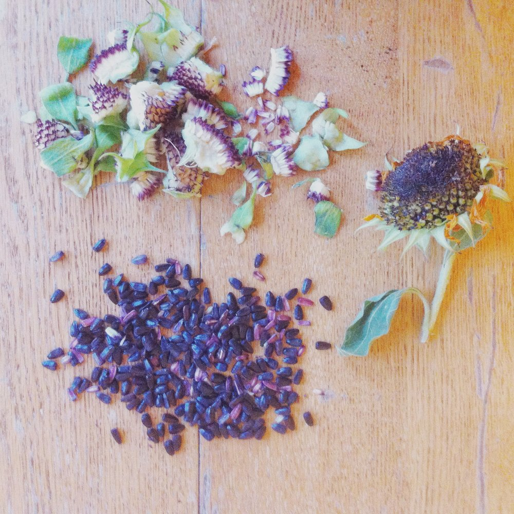 harvesting hopi sunflower seeds from the brooklyn tree guard dye gardens