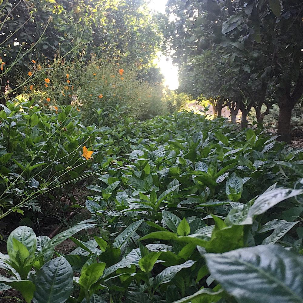 japanese indigo growing in the orange grove